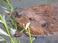 beaver-979851_640