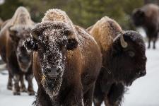 bison-1128821_640