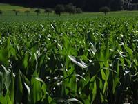 cornfield-592569_640