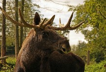 moose-1092448_640